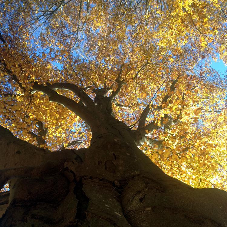 Bild von Baum mit herbstlich gelbem Laub